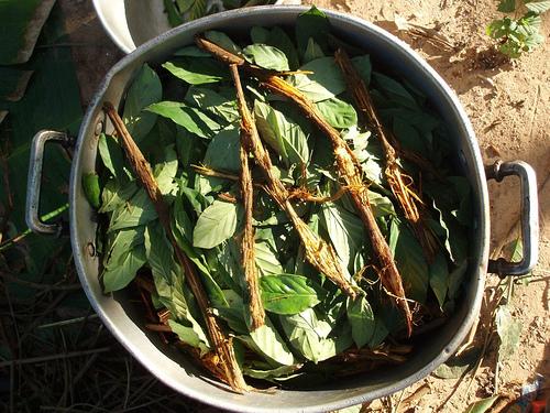 ayahuasca_and_chacruna_cocinando